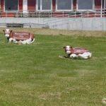 ハッピネスデーリィ 牛のベンチ