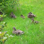 札幌芸術の森の鴨